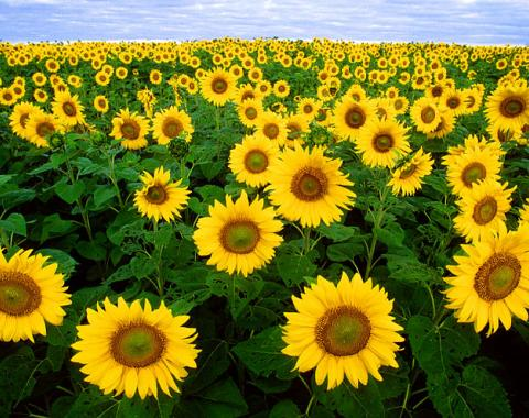 Photo by Bruce Fritz. Sunflowers in Fargo, North Dakota, USA. United States Department of Agriculture